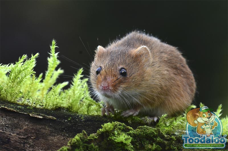 Abbotsford mouse removal
