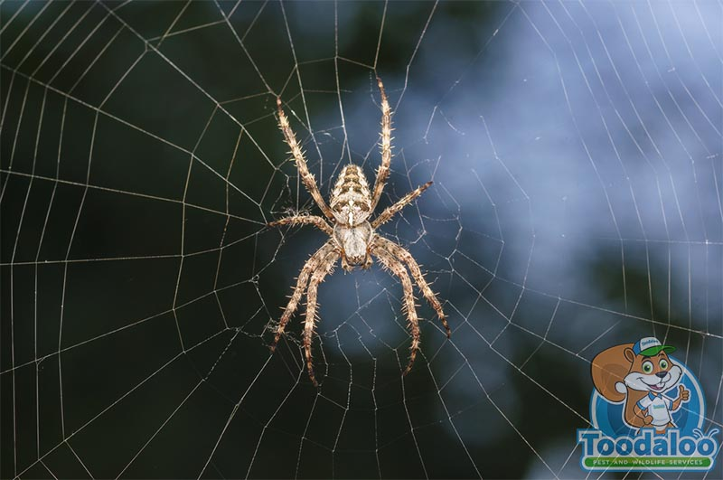 Abbotsford spider removal