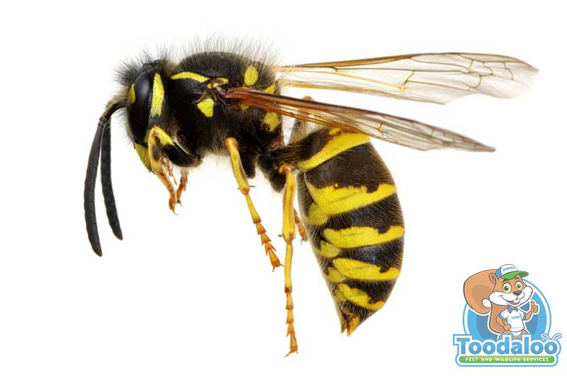 Abbotsford wasp removal