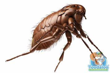 Winnipeg flea removal