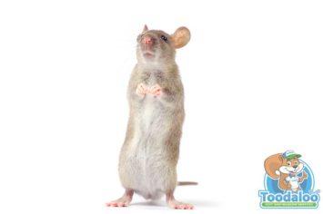 Kelowna Mouse Removal