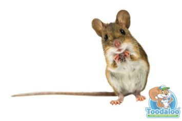 Penticton Mouse Removal
