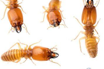 Penticton Termite Extermination