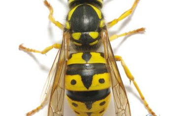 Penticton Wasp Removal