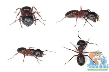Toronto Carpenter Ant Removal