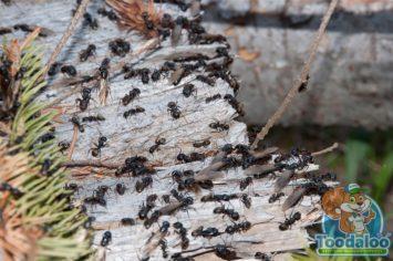 Thompson Carpenter Ant Removal