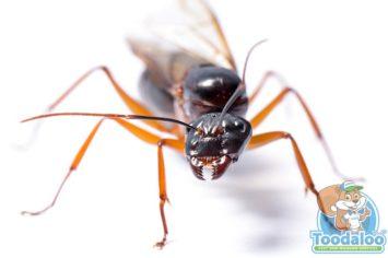 Winnipeg Carpenter Ant Removal
