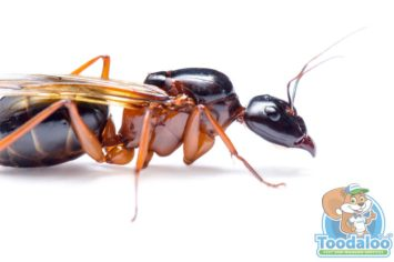 Prince Albert Carpenter Ant Removal