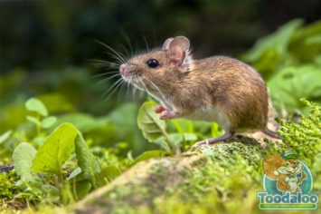 Saskatoon Mouse Removal