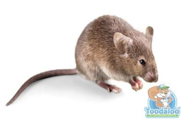 Mississauga Mouse Removal