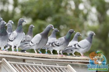 Steinbach Pigeon Removal