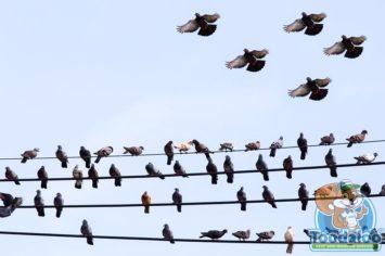 Winnipeg Pigeon Removal