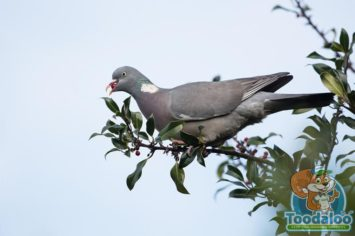 Penticton pigeon removal