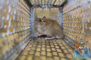 Mississauga Rat Removal