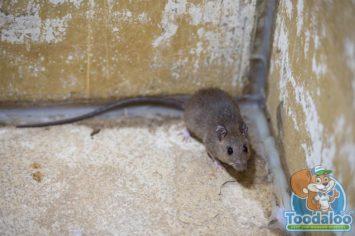 Red Deer Rat Removal