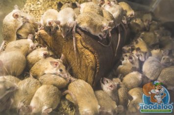 Toronto Rat Removal