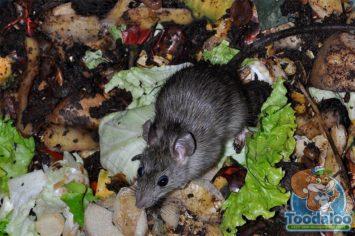 Winnipeg Rat Removal