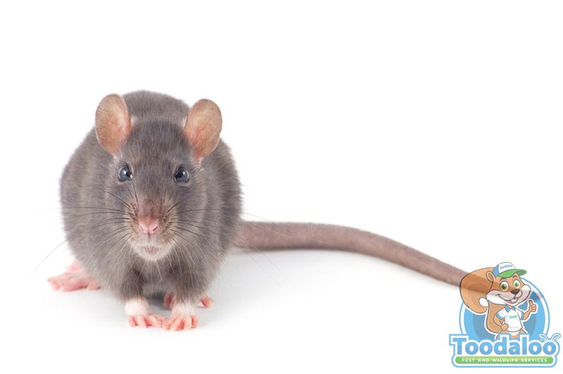Victoria Rat Removal