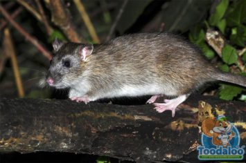 Okanagan rat removal