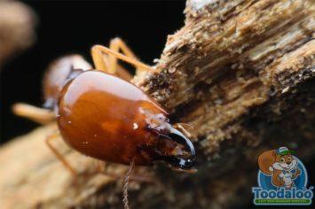 Saskatoon Termite Extermination