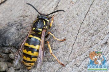 Saskatoon Wasp Removal
