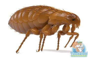brandon flea removal