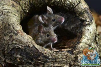 niagara falls mouse Removal