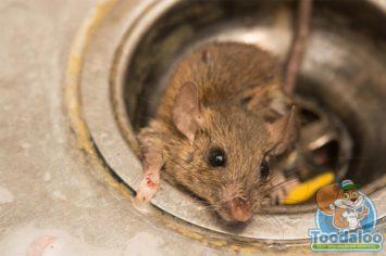 oakville rat removal