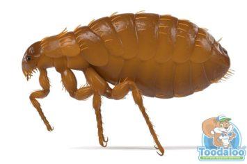 brampton flea removal