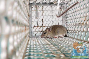burlington mouse Removal