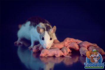 burlington rat removal