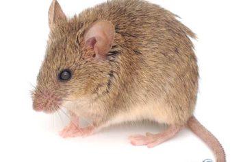 portage la prairie mouse removal