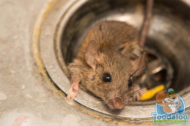wildlife rat removal
