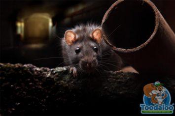 vaughn rat removal