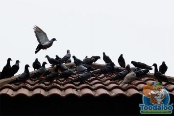 airdrie pigeon removal
