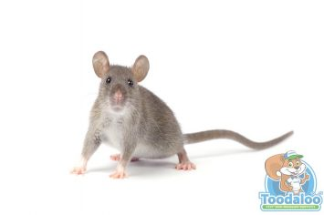 airdrie rat removal