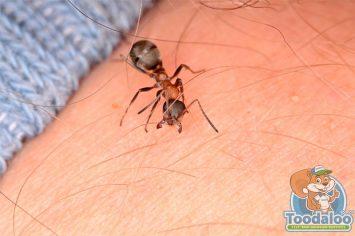 grand prairie carpenter ant removal