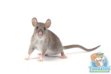 st albert rat removal