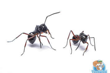 hamilton pavement ant removal