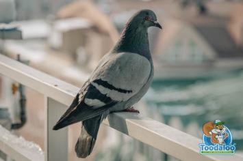 hamilton pigeon removal