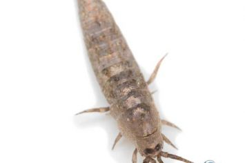 mission silverfish removal