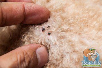 langley flea removal