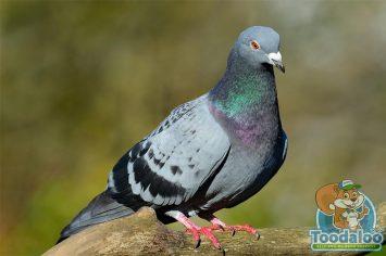 surrey pigeon removal