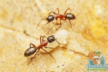 richmond carpenter ant removal