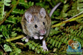 richmond mouse removal