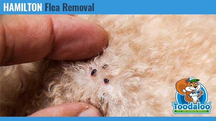 hamilton flea removal