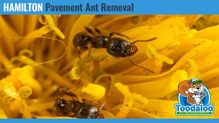 hamilton pavement ant removal