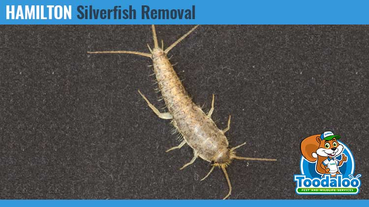 hamilton silverfish removal