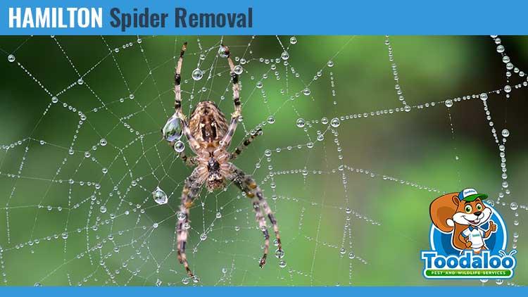 hamilton spider removal