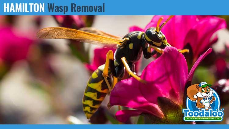 hamilton wasp removal